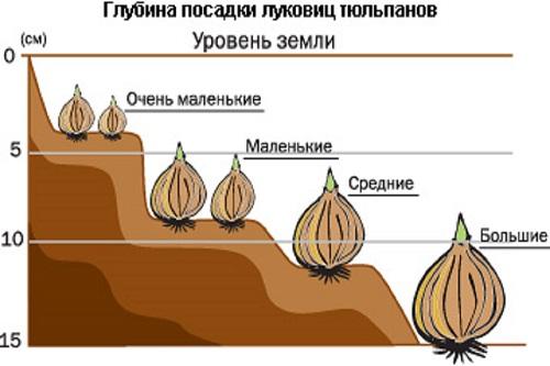 Глубина посадки луковиц тюльпанов разного размера