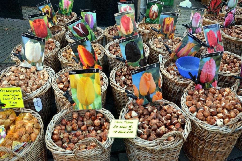 Луковицы тюльпанов для осенней посадки
