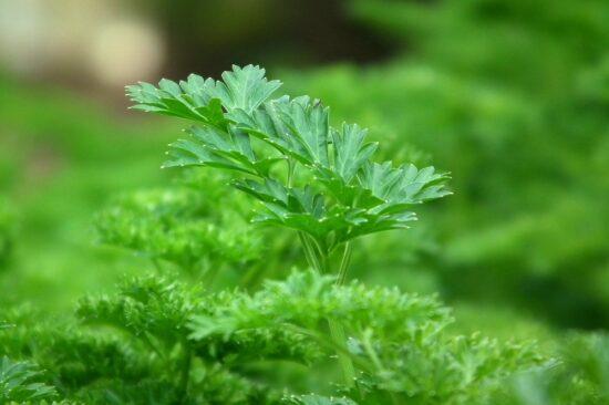 Петрушка - осенний посев зелени
